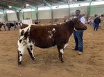 JR Chapman showing a Shorthorn heifer
